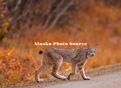 Alaska. Canadian Lynx (Felix lynx) crossing the park road at Sable Pass, Denali National Park.