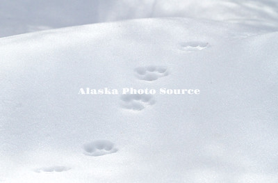 Alaska. Fresh Canadian Lynx (Lynx canadensis) tracks in the snow, Southcentral Alaska.