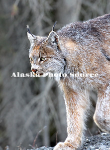 Alaska. Canadian Lynx (Lynx canadensis) walking on the prowl in Denali Natl. Park.