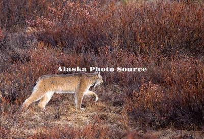 Alaska. Canadian Lynx (Felix lynx) stalking prey, Denali National Park.