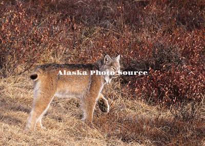 Alaska. Canadian Lynx (Lynx canadensis) on the prowl in Denali Natl. Park.
