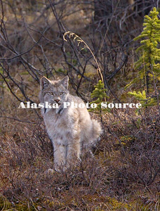 Alaska. Canadian Lynx (Lynx canadensis) watching for prey (hares) in Denali Natl. Park.