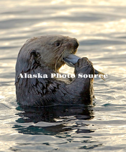Alaska. Sea Otter (Enhydra lutris) eating a fish in Kachemak Bay, Seward.