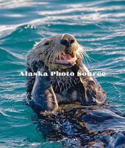 Alaska. Sea Otter (Enhydra lutris) grooming while swimming in Kachemak Bay.