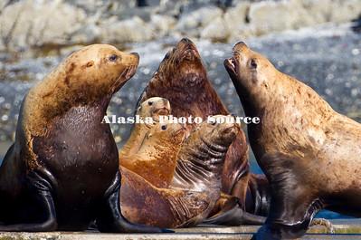 Alaska. Steller's Sea Lions (Eumetopias jubatus) at Kodiak's St. Herman harbor.