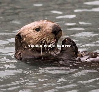 Sea Otter snacking in Seward harbor