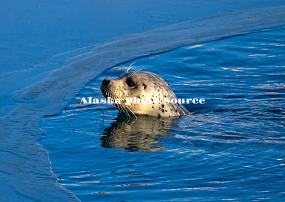 Alaska. Harbor Seal (Phoca vitulina) coming for air and to look around in a small open water hole in the ice, in a Kenai Peninsula bay.