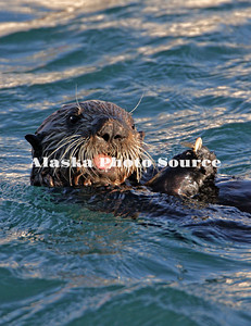 Alaska. Sea Otter (Enhydra lutris) swimming in Kachemak Bay.