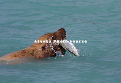 Alaska. Steller's Sea Lion (Eumetopias jubatus) feasting on pink salmon by swallowing them whole, in Port Valdez.