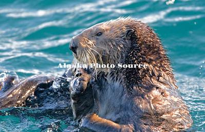 Alaska. Sea Otter (Enhydra lutris) grooming itself in Kachemak Bay.
