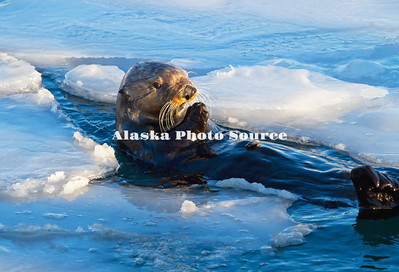 Alaska. Sea Otter (Enhydra lutris) feeding among breaks in the harbor ice in Resurrection Bay.