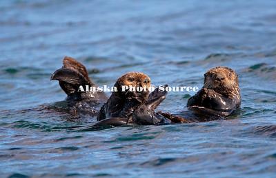Sea Otters (Lontra canadensis) resting in waters off Spruce Island, Kodiak Archipelago.