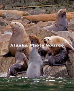 Alaska. Steller Sea Lions (Eumetopias jubatus) with pups on a Prince William Sound haul-out.