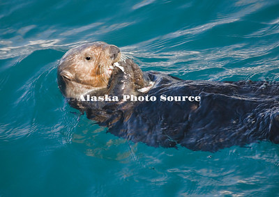 Alaska. Sea Otter (Enhydra lutris) eating while lounging in Kachemak Bay.