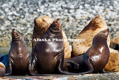 Alaska. Steller's Sea Lions (Eumetopias jubatus) at Kodiak's St. Herman boat harbor.