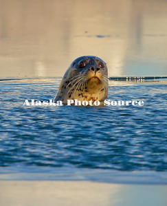 Alaska. Harbor Seal (Phoca vitulina) coming for air and to look around in a small open water hole in the ice, in Resurrection Bay.