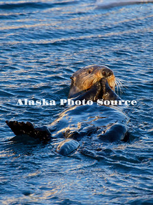 Alaska. Sea Otter (Enhydra lutris) enjoying a meal while floating in Resurrection Bay.
