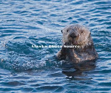 Sea Otter & Bubbles, Passage Canal, Whittier.