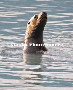 Steller's Sea Lion chasing pink salmon near Valdez.