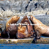 Alaska. Steller's Sea Lions (Eumetopias jubatus) at Kodiak's St. Herman boat harbor.