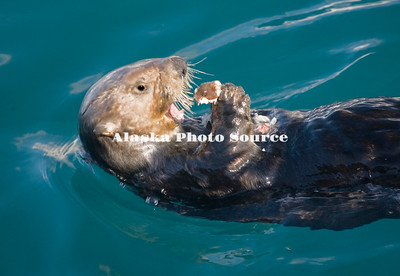 Alaska. Sea Otter (Enhydra lutris) eating while lounging on the surface of Kachemak Bay.