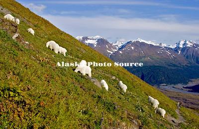 Alaska. Mountain Goats (Oreamnos americanus) eating mountainside tundra grasses among visitors, Kenai Fjords National Park.