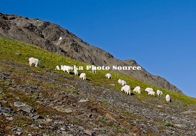 Alaska. Mountain Goats (Oreamnos americanus) eating mountainside tundra grasses, Kenai Fjords National Park.