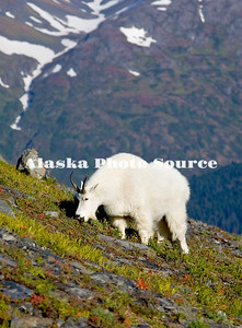 Alaska. Mountain Goat (Oreamnos americanus) eating mountainside tundra grasses, Kenai Fjords National Park.