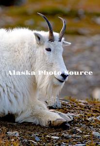 Alaska. Mountain Goat (Oreamnos americanus) resting on a mountainside in Kenai Fjords Natl. Park.