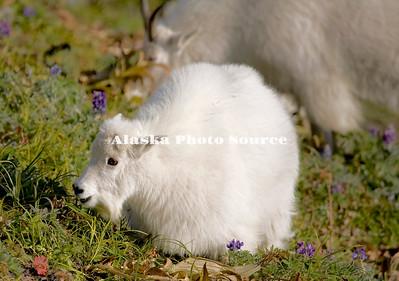 Alaska. Mountain Goat Kid (Oreamnos americanus) feeding on a mountainside in Kenai Fjords Natl. Park.