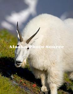 Alaska. Mountain Goat (Oreamnos americanus) smiling on a mountainside in Kenai Fjords Natl. Park.