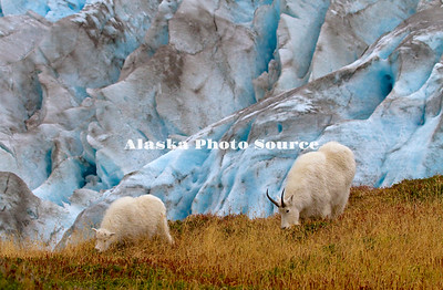 Alaska. Mountain Goat nanny and kid (Oreamnos americanus) feeding along the edge of Exit Glacier on a mountainside in Kenai Fjords Natl. Park.