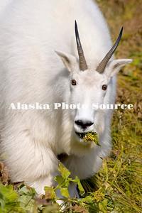 Alaska. Mountain Goat (Oreamnos americanus) feeding on a mountainside in Kenai Fjords Natl. Park.