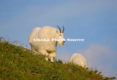 Alaska. Mountain Goats (Oreamnos americanus) feeding on a mountainside in Kenai Fjords Natl. Park.