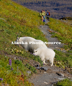 Alaska. Mounatin Goat Nanny and Kid (Oreamnos americanus) eating mountainside tundra grasseson the Harding Icefield Trail, Kenai Fjords National Park.