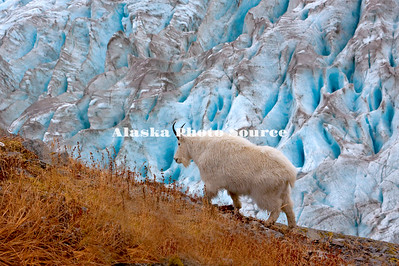 Alaska. Mountain Goat Billy (Oreamnos americanus) feeding along the edge of Exit Glacier on a mountainside in Kenai Fjords Natl. Park.
