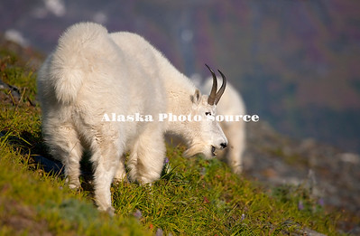 Alaska. Mountain Goat Nanny (Oreamnos americanus) calling to her nearby kid, feeding on a mountainside in Kenai Fjords Natl. Park.