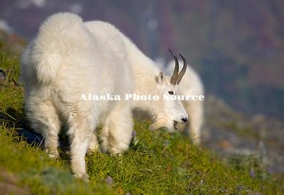 Alaska. Mountain Goat (Oreamnos americanus) on a mountainside in Kenai Fjords Natl. Park.