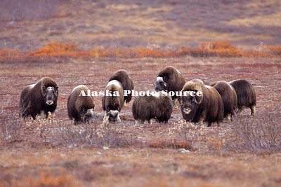 "Alaska; Muskox (Ovibos moschatus) herd on the autumn tundra of the Seward Peninsula, outside of Nome.  Muskox, called omingmak meaning ""the animal with skin lake a beard"" by the local Inupiaq people."