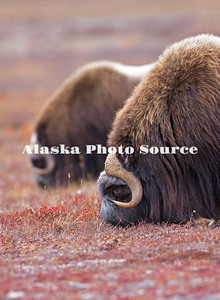 Alaska. Muskox (Ovibos moschatus) bulls eating tundra plants during the autumn breeding season on the Seward Peninsula, outside of Nome.