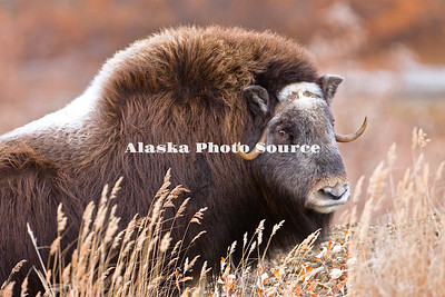 Alaska. Portrait of a young Muskox (Ovibos moschatus) bull (3 years old) during the autumn breeding season on the Seward Peninsula, outside of Nome.