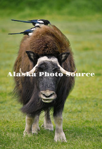 Alaska. Muskox (Ovibos moschatus) with two black-billed magpies (Pica hudsonia) preening its back for insects, Alaska Wildlife Conservation Center.