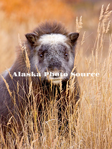 Alaska. Curious Muskox (Ovibos moschatus) calf peers through tall grass at the photographer during the autumn season on the Seward Peninsula, outside of Nome.