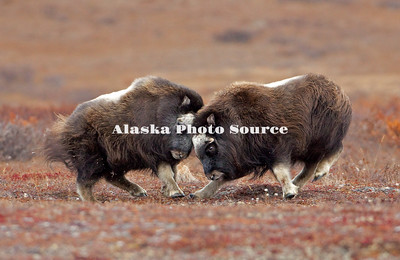 Alaska; Muskox (Ovibos moschatus) calves play fighting on the autumn tundra of the Seward Peninsula, outside of Nome.
