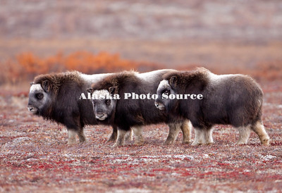 Alaska; Three Muskox (Ovibos moschatus) calves playing on the autumn tundra of the Seward Peninsula, outside of Nome.