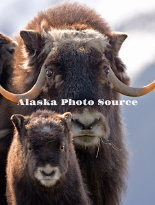 Alaska. Muskox (Ovibos moschatus) with newborn calf, Alaska Wildlife Conservation Center.
