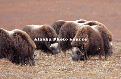 "Alaska; Muskox (Ovibos moschatus) herd feeding during an autumn snowfall on the Seward Peninsula, outside of Nome.  Muskox, called omingmak meaning ""the animal with skin lake a beard"" by the local Inupiaq people."