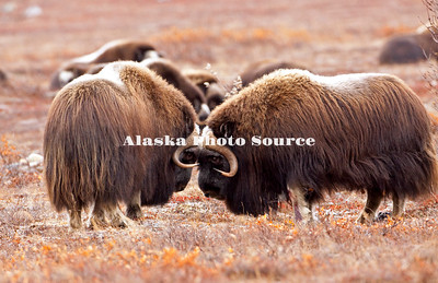 "Alaska; Muskox (Ovibos moschatus) bulls combat over dominance of the herd on the autumn tundra of the Seward Peninsula, outside of Nome.  Muskox, called omingmak meaning ""the animal with skin lake a beard"" by the local Inupiaq people."