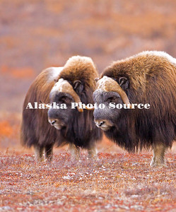 Alaska. Muskox (Ovibos moschatus) bulls on guard for other bulls and herd predators during the autumn breeding season on the Seward Peninsula, outside of Nome.
