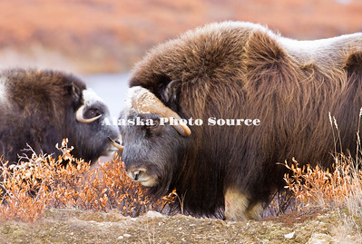 Alaska. Close-up of a Muskox (Ovibos moschatus) bull on guard during the autumn breeding season on the Seward Peninsula, outside of Nome.